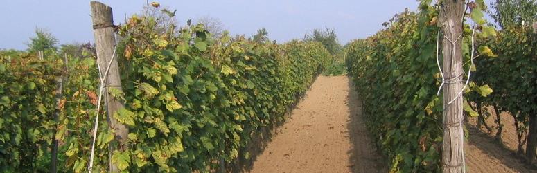szőlőművelés